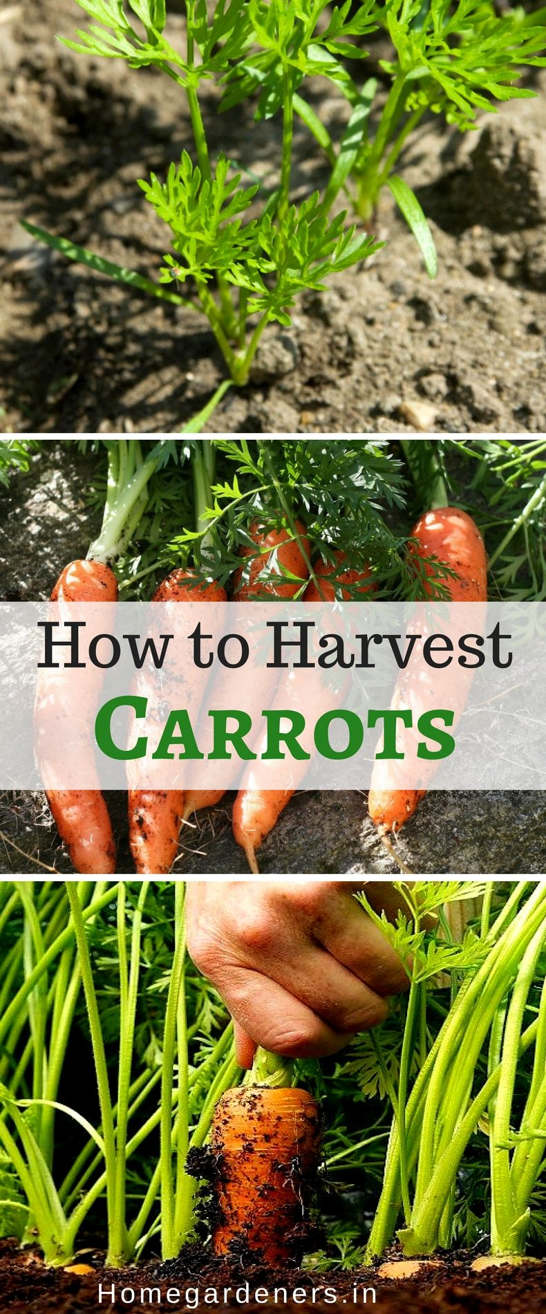 Carrots How To Planting Growing And Harvesting Carrots 640 x 480