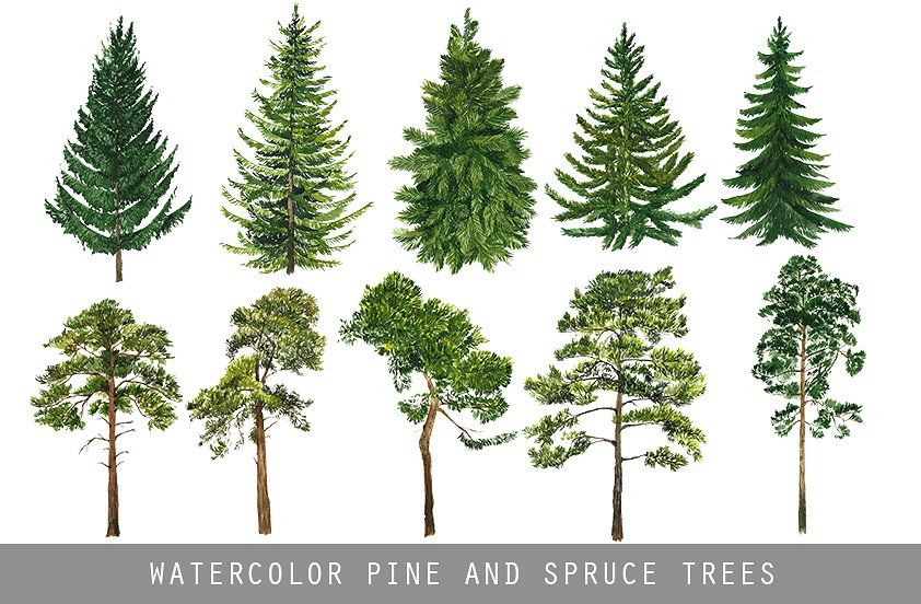 Watercolor Pine And Spruce Trees Watercolor Trees
