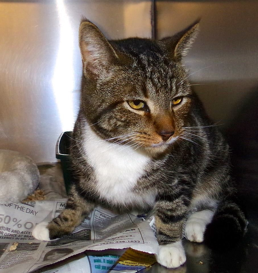Ralphie (5065) is a brown with white male tabby. He is 2