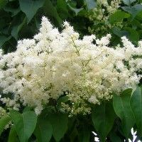 Japanese Lilac Trees Fragrant Creamy White Flowers In