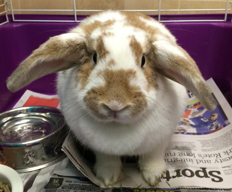 Meet Jackie a Petfinder adoptable Lop Eared Rabbit | New Rochelle, NY | Petfinder.com is the world�s largest database of adoptable pets and pet care information. Updated daily, search Petfinder for one of over 300,000 adoptable pets and thousands of pet-care articles!