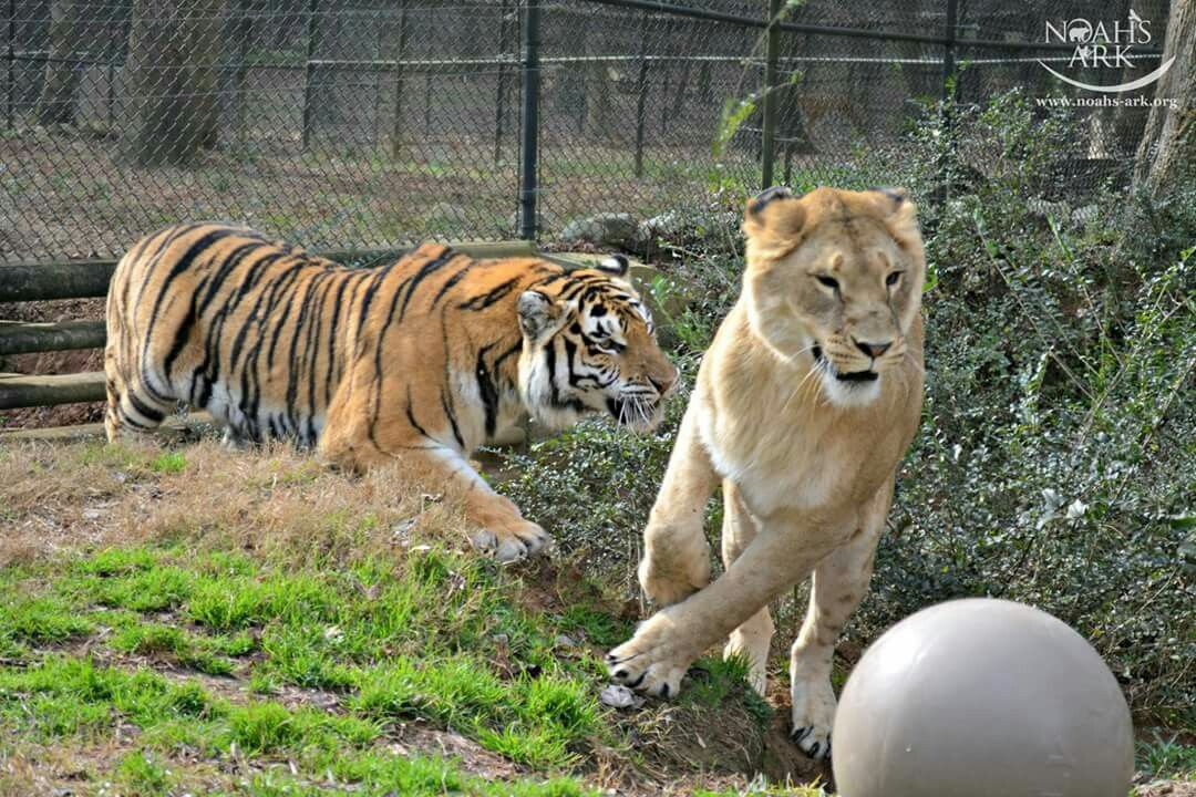 Tiger Lily and Liberty live together at The Noah's Ark