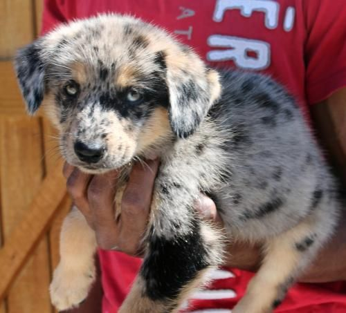 9 19 15 Sl Ariel Is A 9 Week Old Female Australian Shepherd