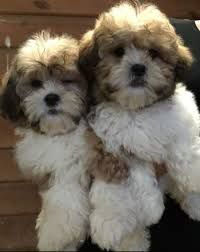 Image Result For Shih Tzu Cross Bichon Frise Puppies For Sale Bichon Frise Bichon Frise Puppy Shih Tzu
