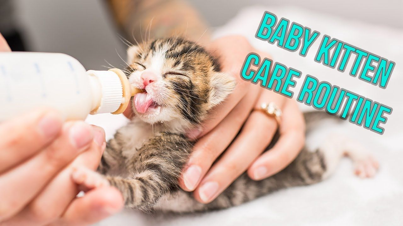 Kitten Nursery Care Routine For Neonates Youtube Kitten Neonatal Kitten Care