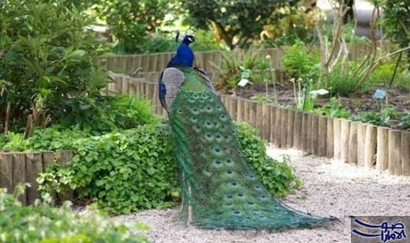 الطاووس يوصف بأنه أجمل طيور العالم وصف الطاووس بأنه أجمل طيور العالم حيث يعتبر من الطيور التي لها تاريخ كبير عند الملوك Peacock Images Pictures Images Peacock