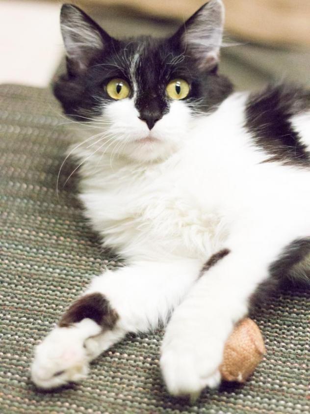 Adopt Hannah On Petfinder Feline Cats Animals