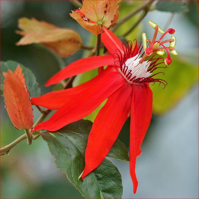 Vitifolia Passion Flower Passion Flower Beautiful Flowers Flowers