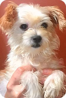 Oswego Il Shih Tzuyorkie Yorkshire Terrier Mix Meet Lulu And