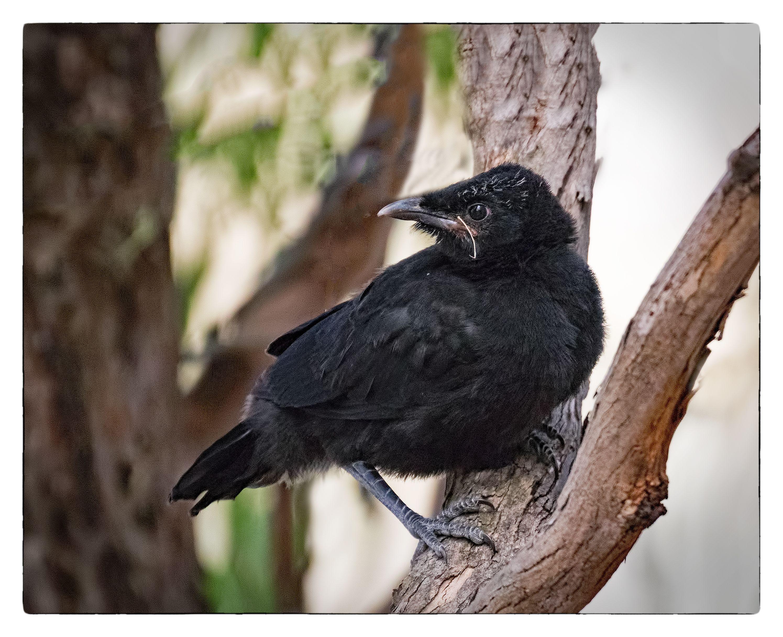 White-winged Chough - newly fledged; Aranda Bushland, ACT