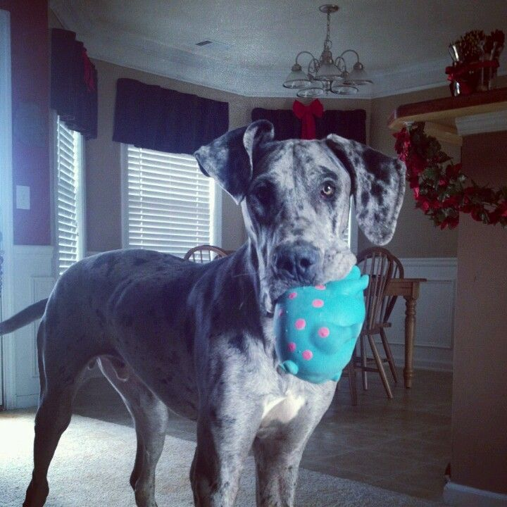 My Zane Blue Merle Great Dane Blue Merle Great Dane Cute