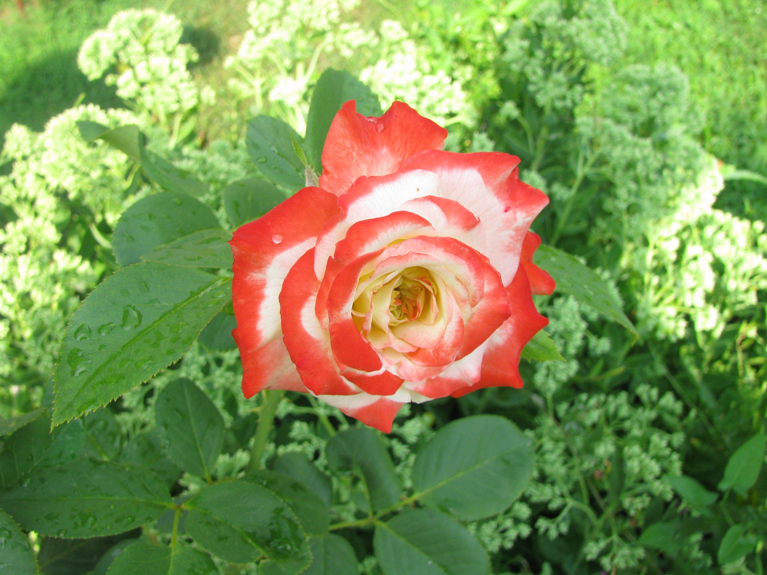 """Rose """"Empress Farah"""""""