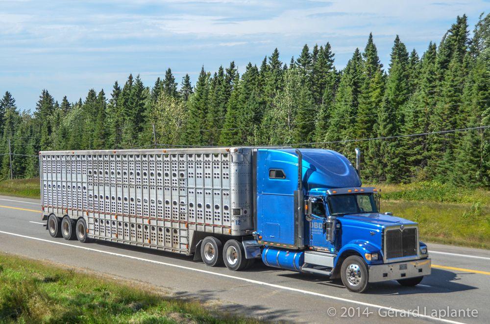 Trucking Cool trucks, Trucks, Livestock