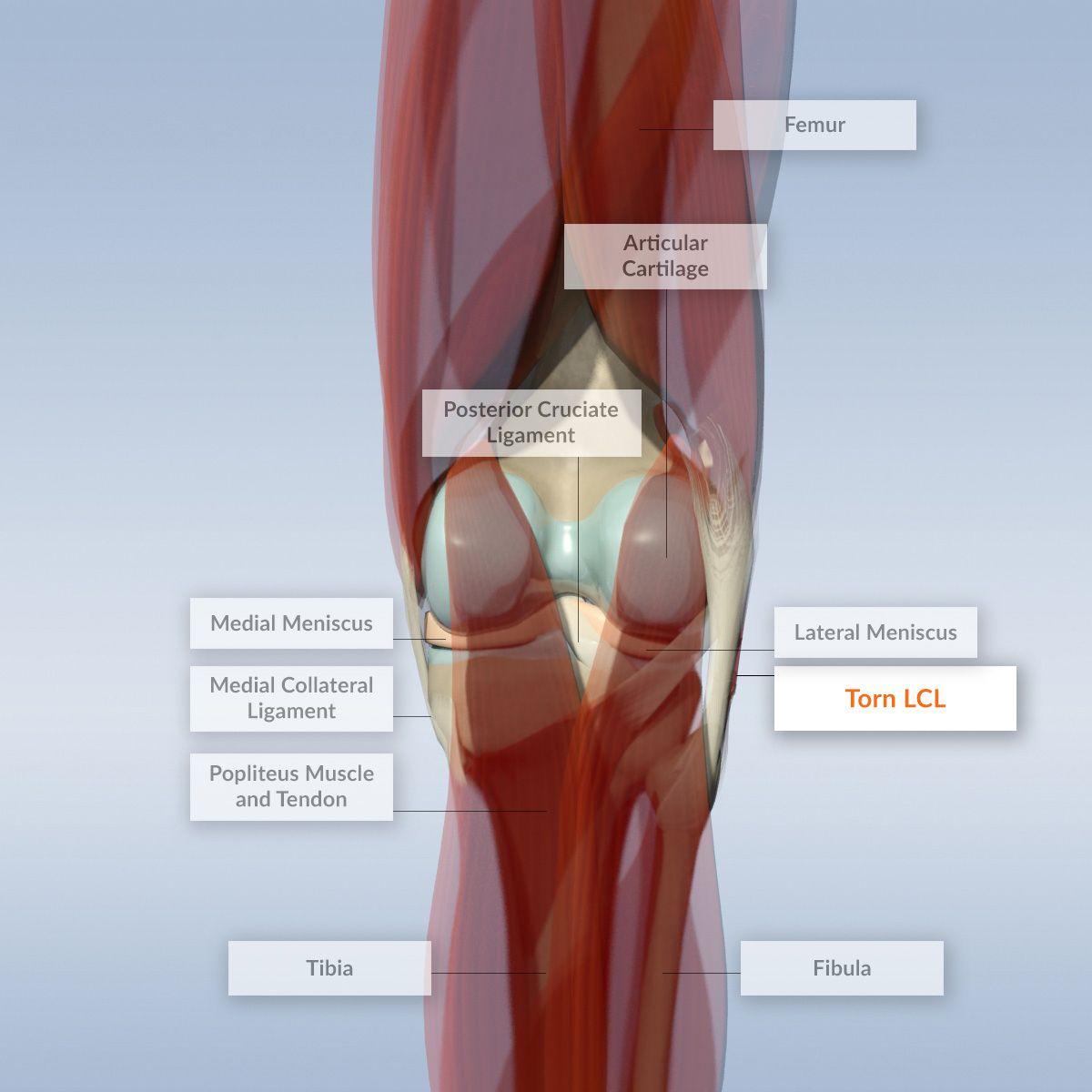Human Knee Anatomy Human Anatomy Drawing Human Anatomy Drawing