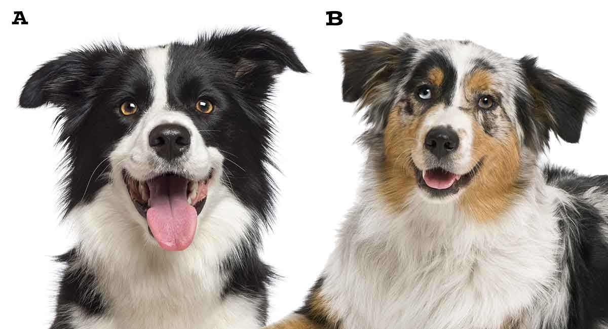 Pin On Border Collie Puppies