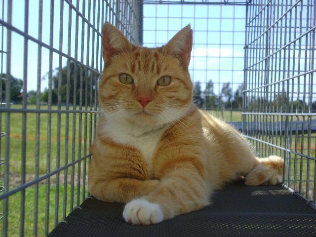 Cutie Pie Ginger Domestic Shorthair Cats Cutie Animals