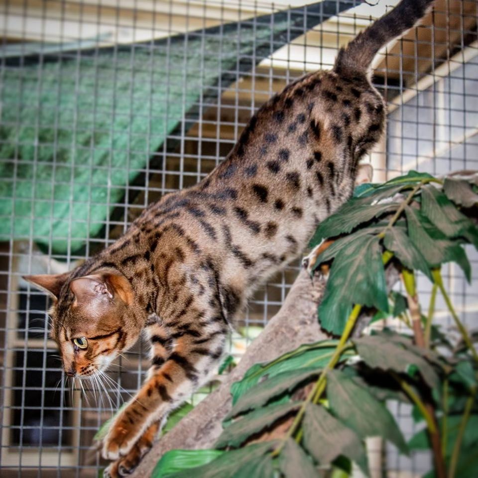 LeopardUs Cheetoh Cats - Cheetoh Breeder - Geelong, Victoria