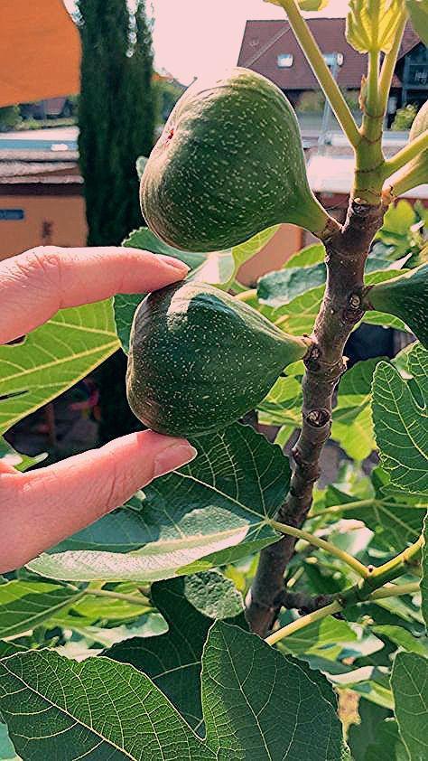 Photo of Feigenbäume ziehen und vermehren – so geht´s! – Life Is Full Of Goodies