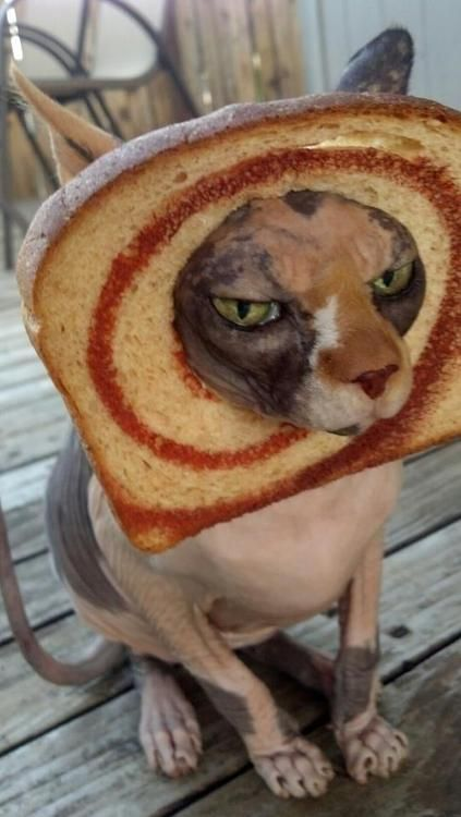 in bread cat not sure why this is funny but it is