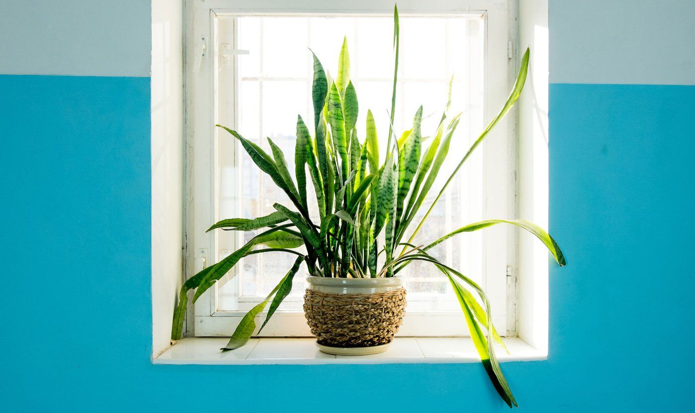 Airpurifying plants with skin benefits! Plants, Best
