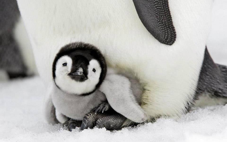 Pinguinito de Batman