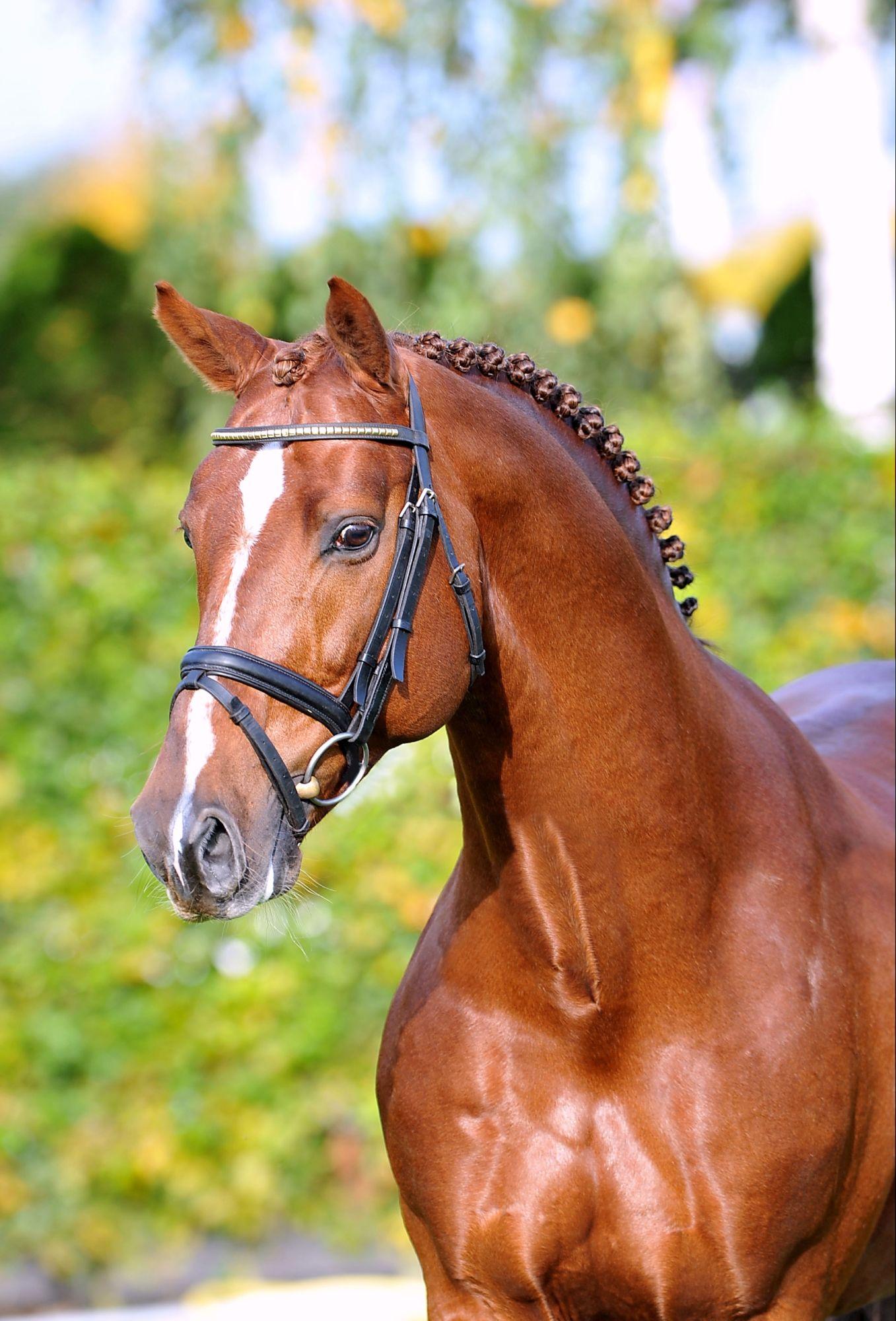 Zinedine Kwpn Chestnut Born 2004 About 168 Cm Pferde