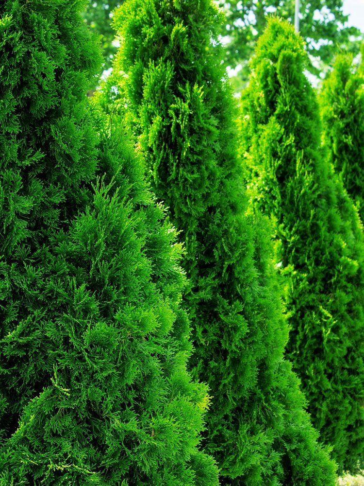 5 Trees For Screening Our Lovable Neighbors B B Barns Garden Center Landscape Services Arborvitae Landscaping Screen Plants Green Giant Arborvitae