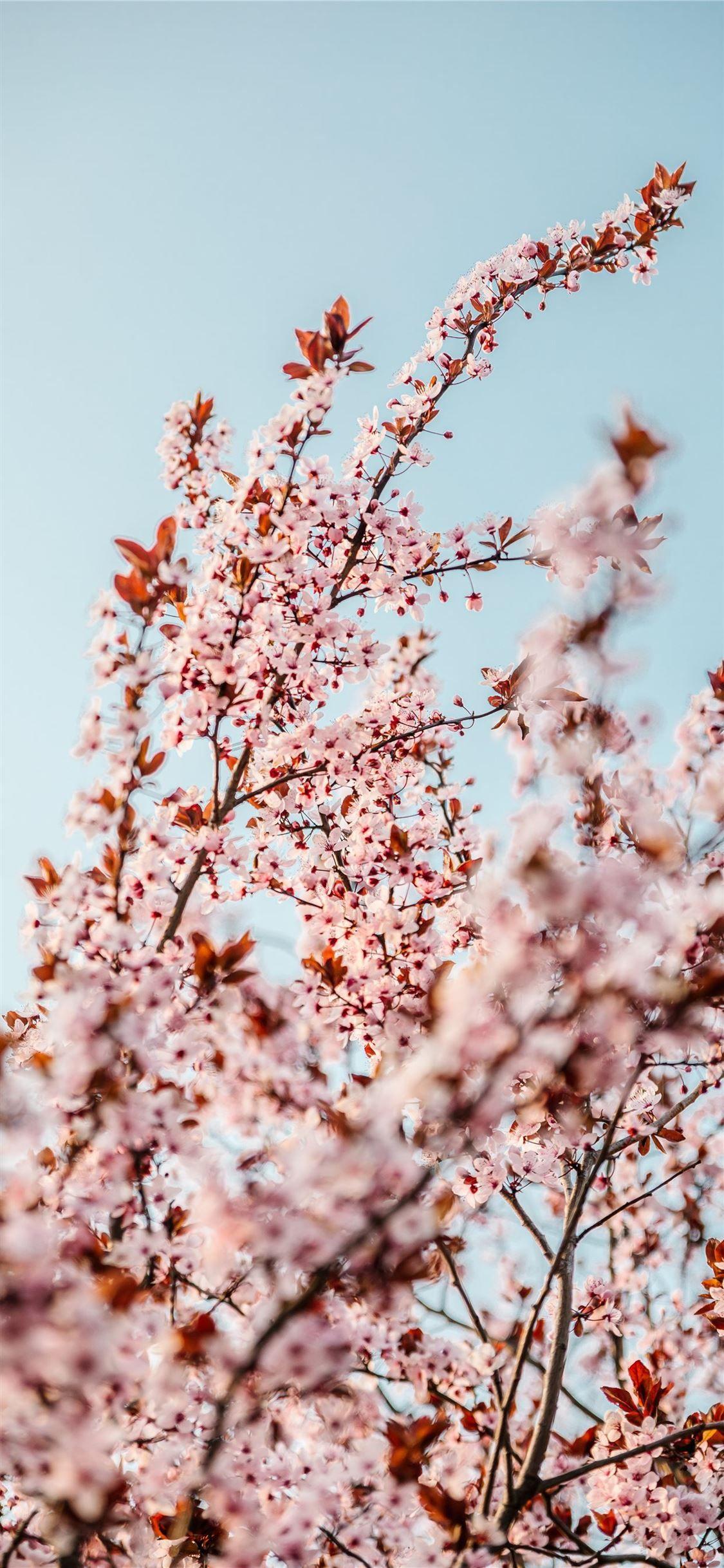White Cherry Blossom Tree During Daytime Flower Cherryblossom Tree Spring Grey Iphonexwallpaper White Cherry Blossom Cherry Blossom Tree Blossom Trees