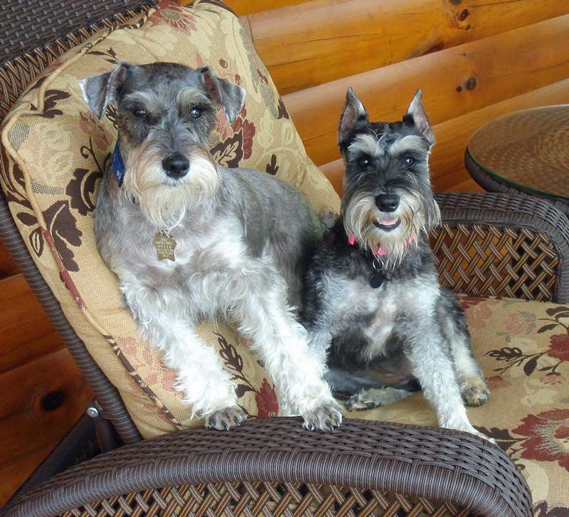 The One With The Pink Collar Could So Be My Abbie D Schnauzerloverescue Org Schnauzer Puppy Dog Friends Schnauzer Dogs