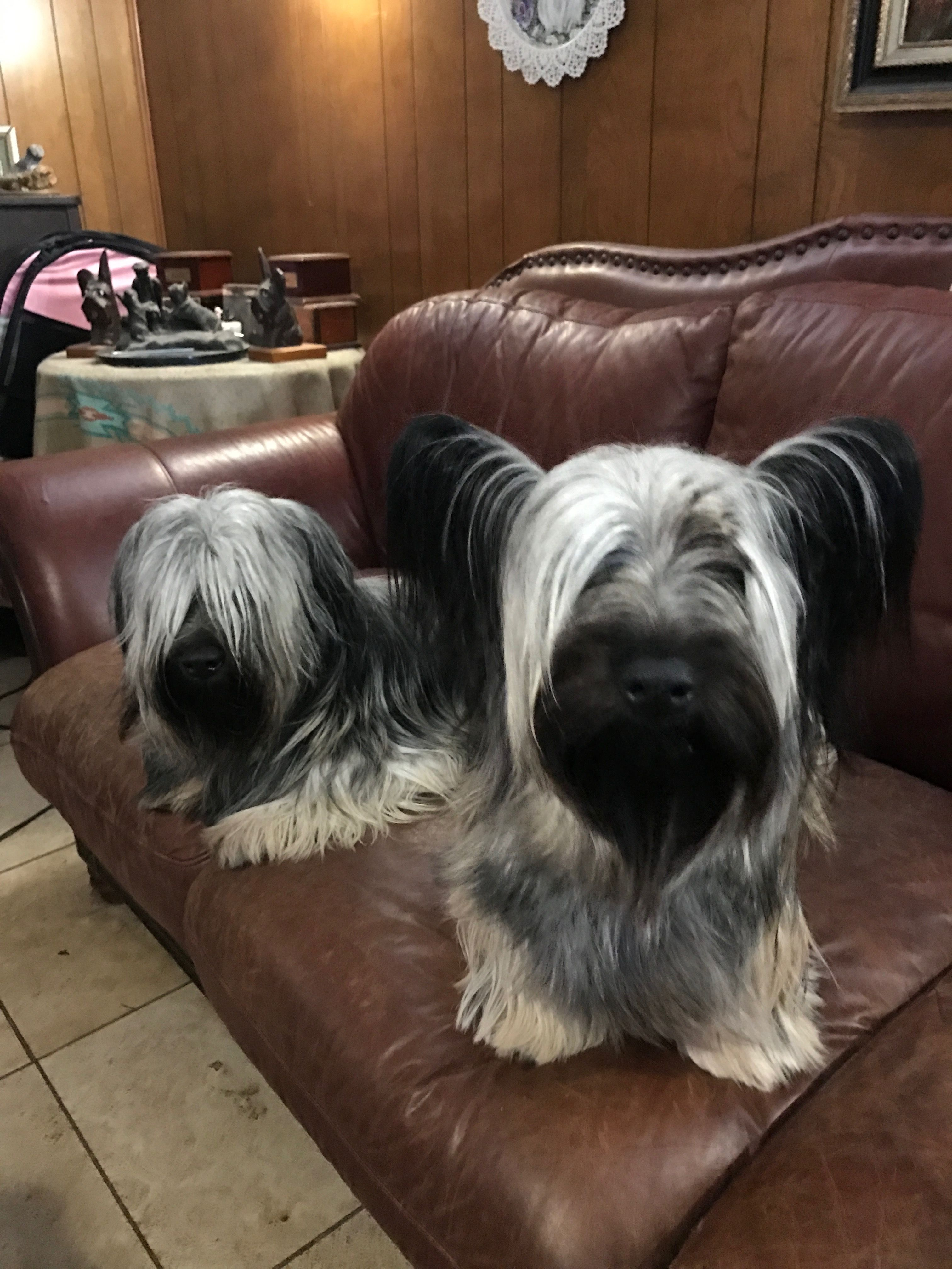 The Twins Marcus And Sassy Skye Terrier Dogs Terrier