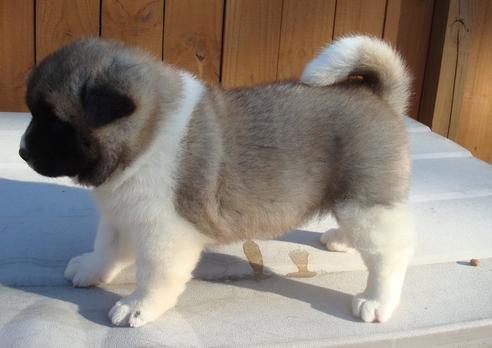 Everybody Loves Puppies Akita Puppies Akita Dog Puppies