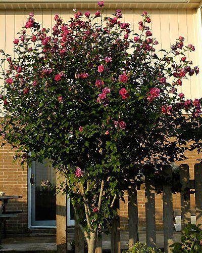 Amazon Com Red Rose Of Sharon Althea Tree 5 6 Ft Patio Lawn Garden Rose Of Sharon Tree Rose Of Sharon Hibiscus Tree