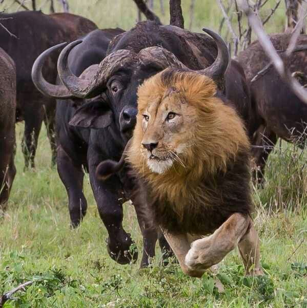 Buffalo 1 -  Lion 0