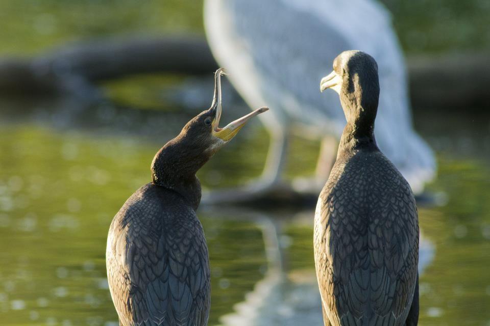 Discussion de cormorans