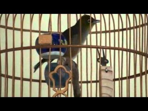 Pleci Juara Nasional Pleci Juara Nasional Gacor Betina Teler Ngerol Pleci Isian Kenari Pleci 2014 Hd Animals