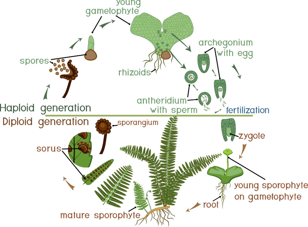 The Surprising Way Ferns Reproduce Fern Life Cycle Ferns Plants