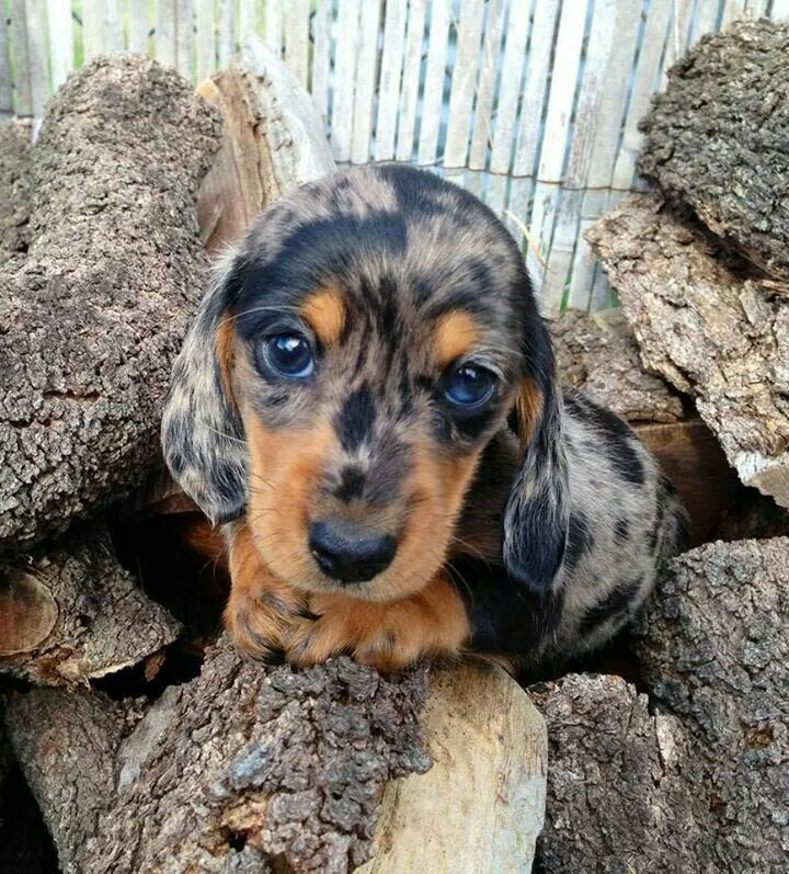 Spotted Blue Eyed Puppy Puppy Dog Eyes Dachshund Puppies Puppies