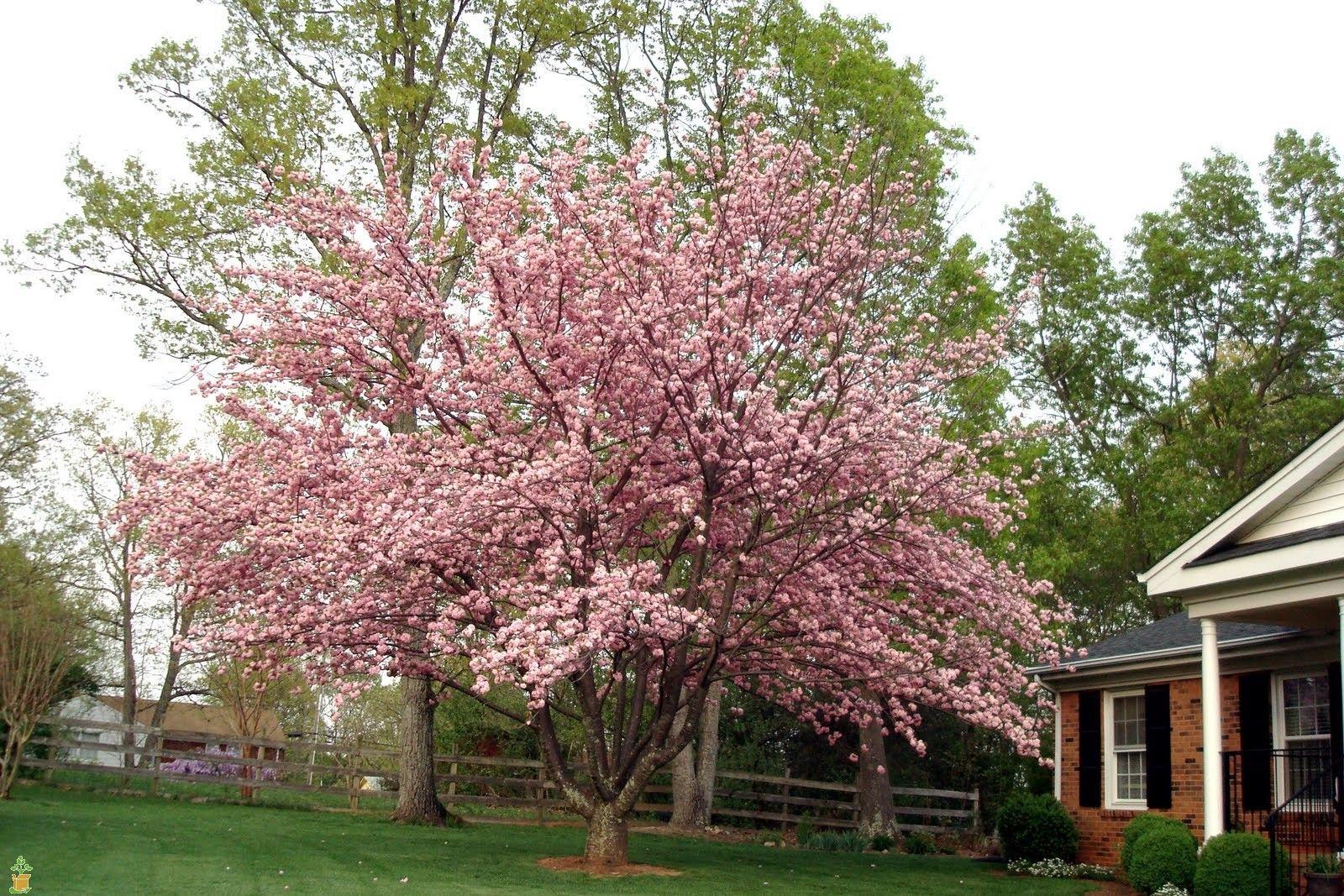 Kwanzan Cherry Tree Shade Shrubs Flowering Cherry Tree Small Backyard Landscaping