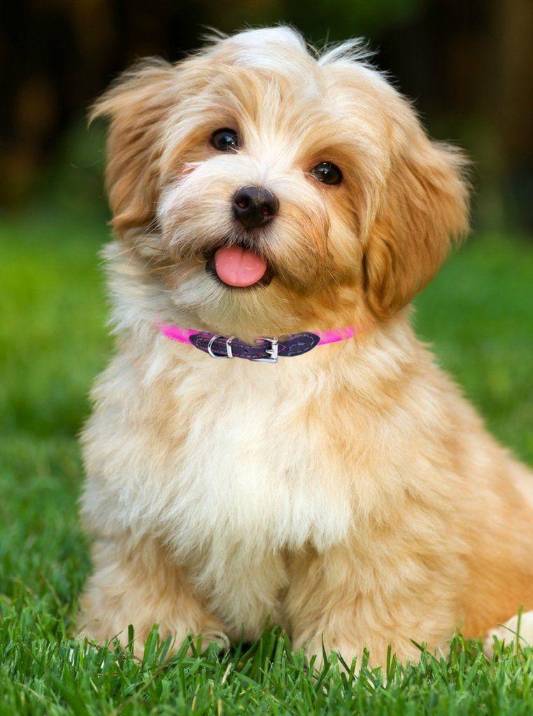 Baldy Skinny Width Small Medium Dogs Havanese Puppies Havanese Dogs Dog Breeds