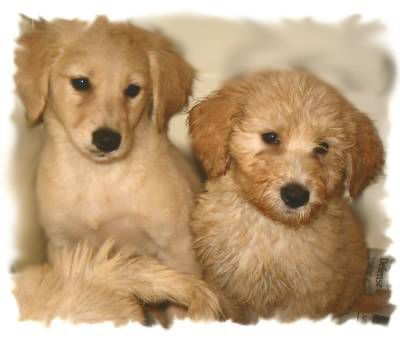 Goldendoodle Coat Phases And Changes Mini Goldendoodle F1 Mini