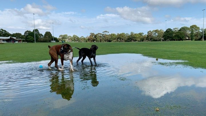 Playing at the park with my friends! The heavy rain made us a pond to play in! - - -  #dendypark #heavyrain #swimming #ponds #lake #water #rain #greengrass #boxerpuppy #gspofinstagram #gsp #gspoftheday #gsppuppy #friends #playtime #wetdogs #wetdogsmell #puddlejumping #playgroup #running #playingwithwater