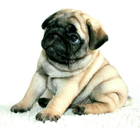 Must see Chub Chubby Adorable Dog - 03e8317708abec20bd0bf6c3c89f4117  You Should Have_15664  .jpg