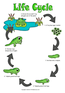 Life Cycle Of A Frog Color Poster Life Cycles Cycle Life