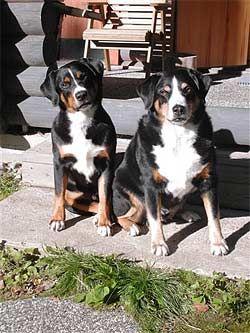 Ssv Schweizer Sennenhund Verein Fur Deutschland E V Berner Sennenhund Bernersennenhund Schweize Sennenhund Entlebucher Sennenhund Appenzeller Sennenhund