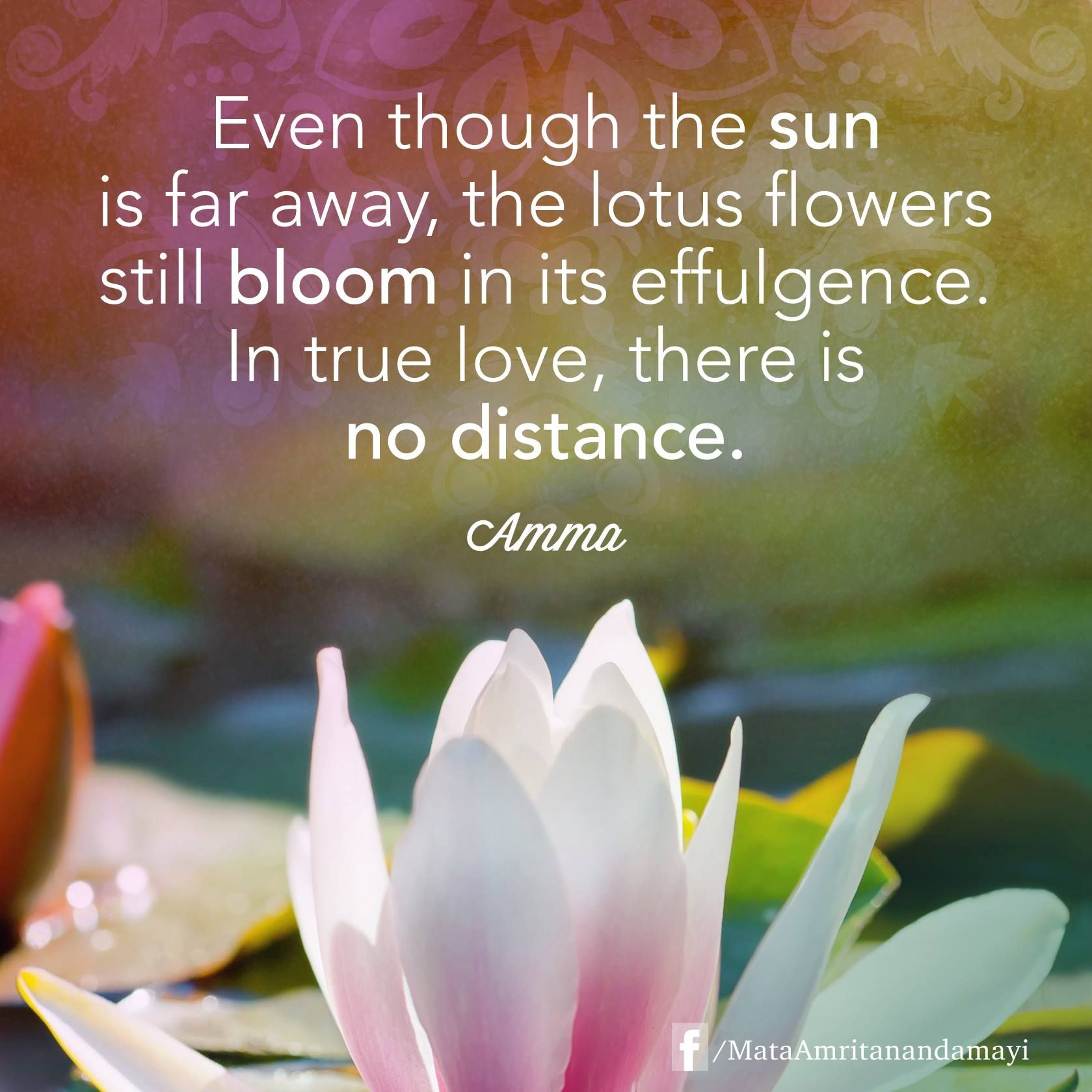 Even Though The Sun Is Far Away The Lotus Flowers Still Bloom In