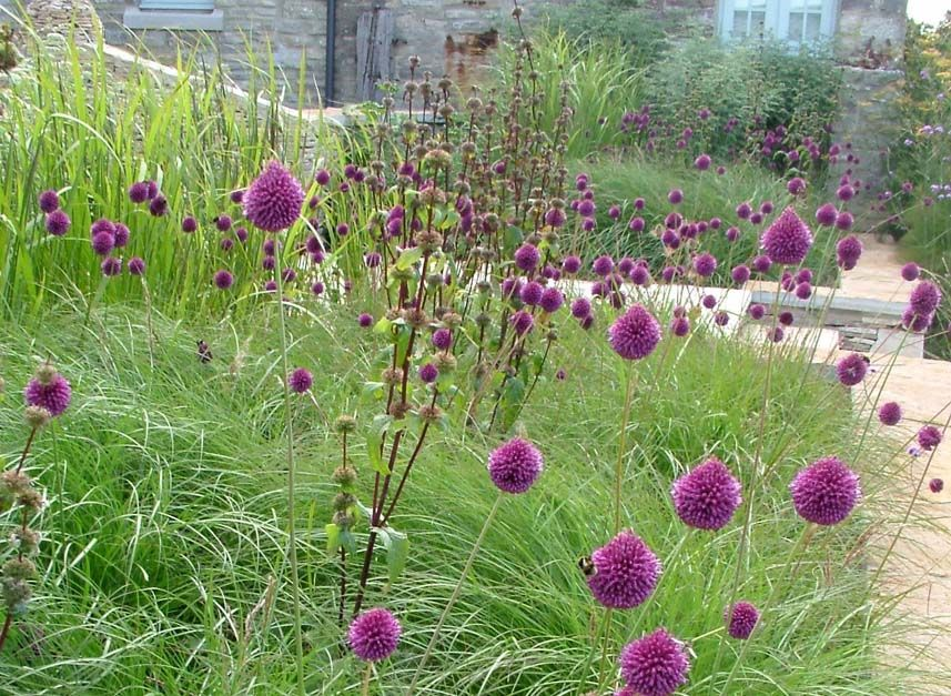 Allium Sphaerocephalon Allium Sphaerocephalon Cheap Garden Plants Plants