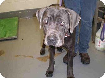 Peoria Il Bullmastiff Weimaraner Mix Meet A199830 A Dog For