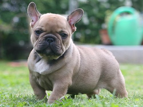 French Bull dogs. I'm in love.