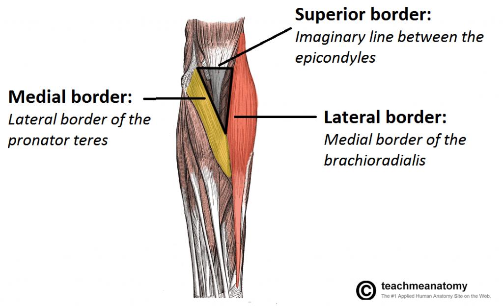 Teachmeanatomyfo Anatomy Pinterest Anatomy Therapy And