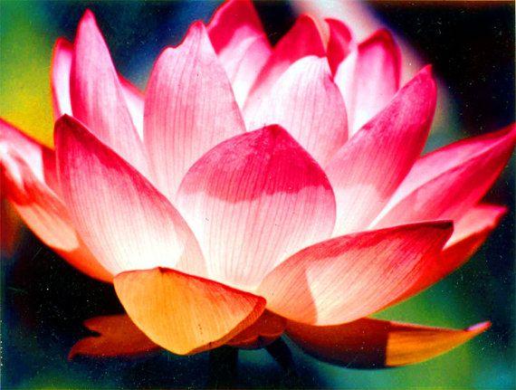 Brilliant lotus flower color photograph flower colors lotus lotus brilliant lotus flower color mightylinksfo Images
